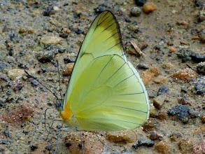 Photo: BLACK-RAYED MELWHITE--melete leucanthe--RIO PINGULLO