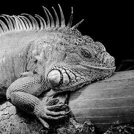 Iguane en colère by Gérard CHATENET - Black & White Animals