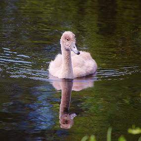 Baby Swan Reflection by Kathlene Moore - Animals Birds (  )