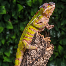 Ch\meleon by Garry Chisholm - Animals Reptiles ( macro, chameleon, nature, reptile, lizard, garry chisholm )