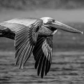 Pelican by Debbie Quick - Black & White Animals ( waterfowl, debbie quick, outdoors, nature, florida, pelican, animal, black and white, water, wild, debs creative images, wildlife )