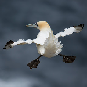 Gannet by Charlie Davidson - Animals Birds ( gannet, birds )
