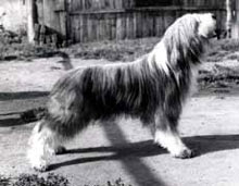 "Photo: Akbar Modra, sire of litter ""A"" Deadro"