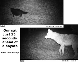 Photo: cat 25 seconds ahead of coyote