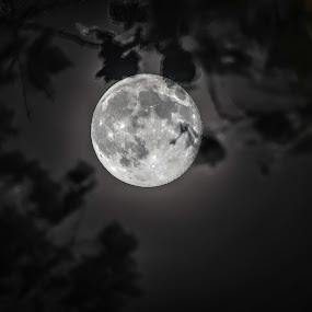 SuperMoon 2013 by Wayne Louie - Landscapes Starscapes ( moon, bright, night, supermoon, branches )