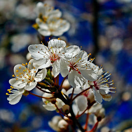 Spring is here, again by Ciprian Apetrei - Flowers Tree Blossoms ( spring, flowers, white, tree blossoms, brittany )