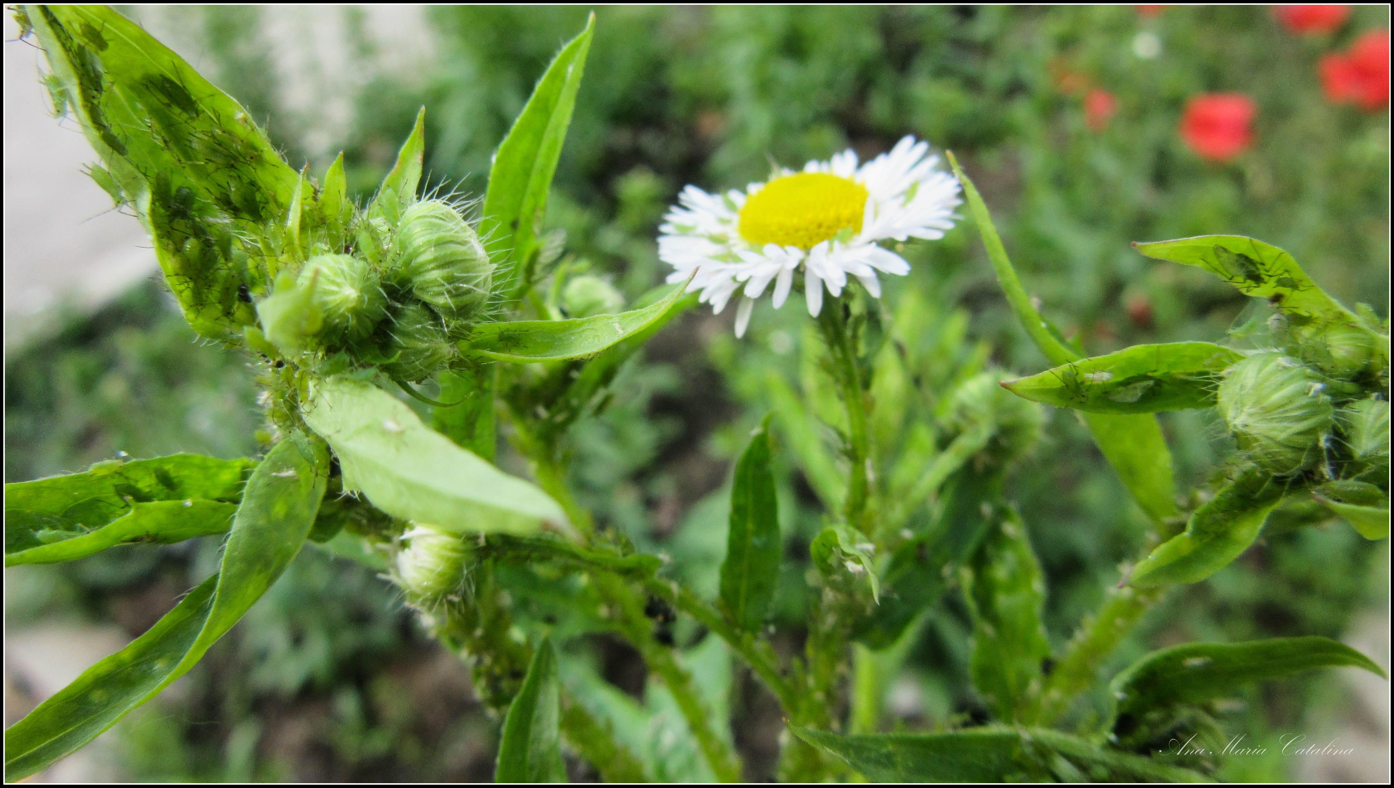 Photo: Bunghisor american - (Erigeron annuus p) - din Piata 1 Decembrie 1918 - spatiu verde - 2017.05.27 Album diverse  http://ana-maria-catalina.blogspot.ro/2017/05/plante-diverse.html