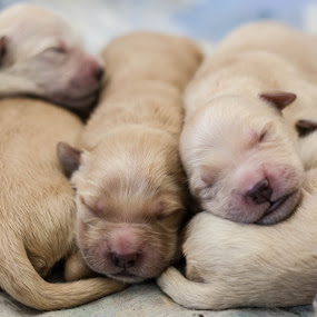 by Brent Flamm - Animals - Dogs Puppies