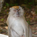 Crab-eating Macaque/Long-tailed Macaque