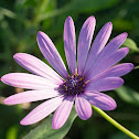 African Daisy (Passion Mix)