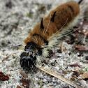 Fingered Dagger Moth