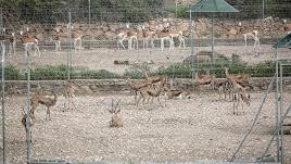 Gacelas dorca y dama en la Finca Experimental 'La Hoya'. Ambas especies conviven bien. No así las gacelas cuvieri.