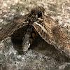 Carolina Sphinx Moth, Tobacco Hornworm, Hawk Moth