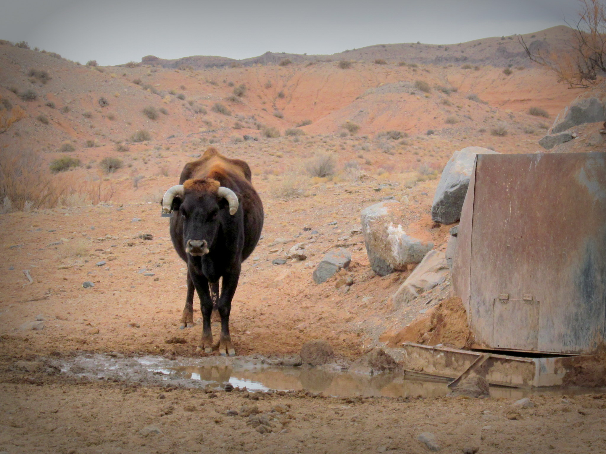 Photo: Cow at Ant Spring