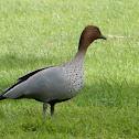 Australian Wood Duck (Male)