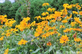 Photo: 拍攝地點: 梅峰-溫帶花卉區 拍攝植物: 金光菊 拍攝日期: 2014_08_18_FY