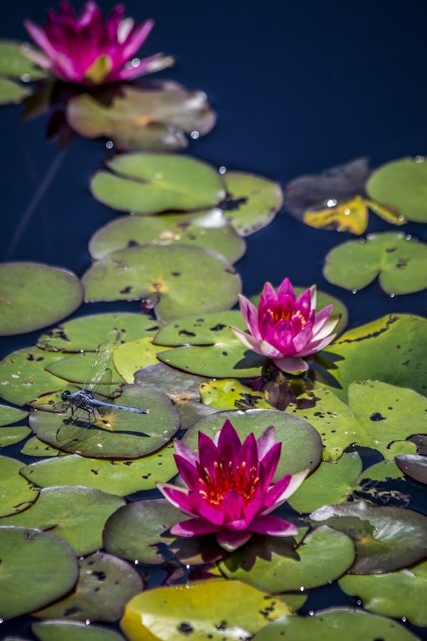 Water lilies with dragon fly by Melinda Lee - Flowers Flowers in the Wild ( pink water lily, flowers, water lily, dragonfly, garden, water garden, floral,  )
