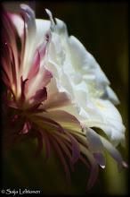 """Photo: """"The Beauty Within"""" - © Saija Lehtonen http://saija-lehtonen.artistwebsites.com/featured/1-the-beauty-within-saija-lehtonen.html  #Nature #Flowers #Cactus"""