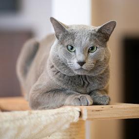 Flis by Aleksander Cierpisz - Animals - Cats Portraits ( pedigree, cat, green, male, bokeh, portrait, eyes, russian blue, russian, blue, rus, grey, en face )