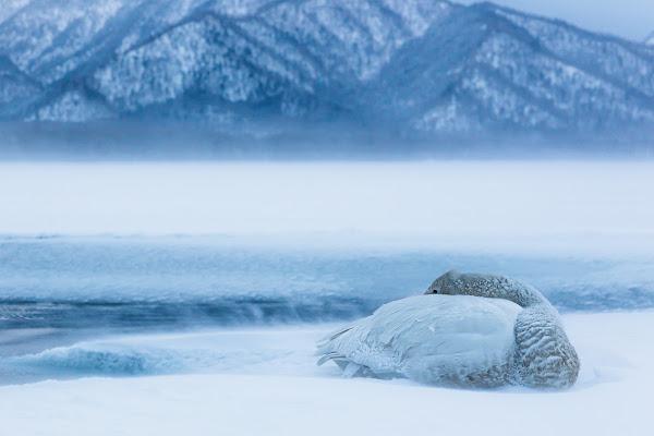 Iced swan di Alan_Gallo