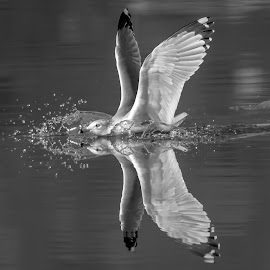 Gull in the Hudson River by Debbie Quick - Black & White Animals ( debbie quick, reflection, outdoors, nature, hudson river, bird, animal, hudson valley, debs creative images, wild, gull, wildlife )