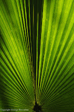 Photo: Palm leaf against the sun. Halmahera Island, Indonesia.