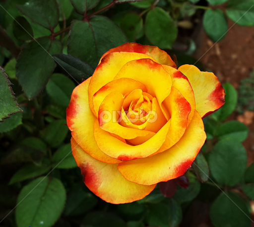 Yellow rose with red tips android instagram mobile pixoto yellow rose with red tips by prema pangi instagram mobile android mightylinksfo