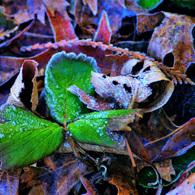 frosty green by Martin Stepalavich - Nature Up Close Leaves & Grasses