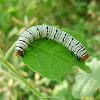 Hieroglyphic Moth (Caterpillar)