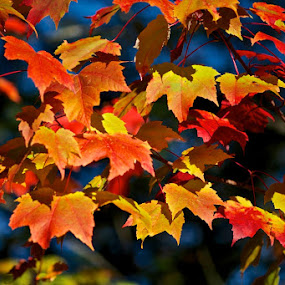 Colorful Maple Leaves  by Betty Arnold - Nature Up Close Leaves & Grasses ( fall leaves, trees, forest, landscape, leaves, maple leaves,  )
