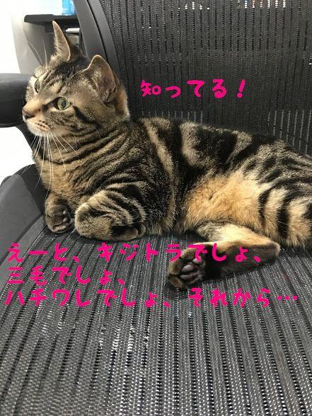 キムリック?キンカロー?あまり知られていないマイナーな品種の珍しい猫3選