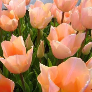 Apricot Souffle - Pink Saturday