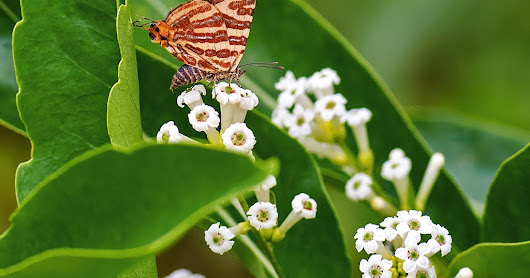 Some butterflies I photographed as Club Mahindra, Virajpet...