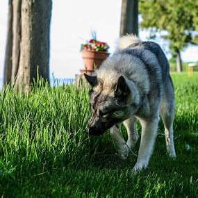 Olaf the Elkhound by Maria Sicilian - Animals - Dogs Portraits ( norwegian elkhound, elkhound, norwegian, grass, smelling, hunting, sniffing, green grass )