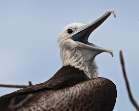 Photo: Frigatebird commenting on all the visitors
