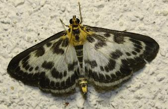 Photo: Eurrhypara hortulata  Lepidoptera > Crambidae