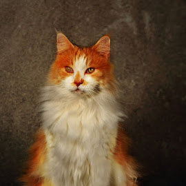Maine Coon by Alessandra Cassola - Animals - Cats Portraits ( #animal, #cat, #mainecoon )