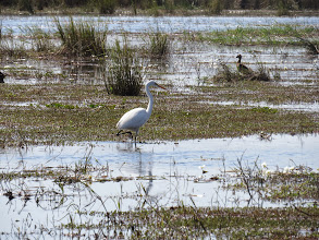 Photo: yellow-billed egret