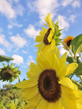 Photo: 2 sunflowers against bright clouds at Cox Arboretum and Gardens of Five River Metroparks in Dayton, Ohio.