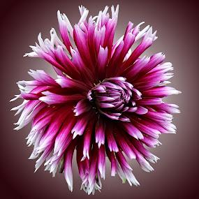 LH dahlia 08 OA by Michael Moore - Flowers Single Flower (  )
