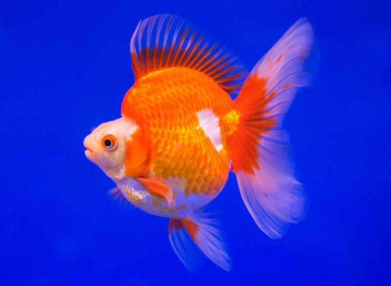 2. Ryukin Veiltail Goldfish