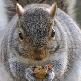 Through the Keyhole by Kathy Jean - Animals Other Mammals ( squirrel, grey squirrel, animal, face of squirrel, close up of squirrel )
