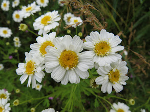Photo: 1 Jul 13 Woodhouse Lane: This is Feverfew (Tanacetum parthenium). It is used to alleviate migraine. Here it almost certainly a naturalised garden escape. (Ed Wilson)