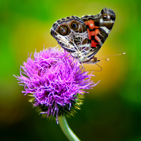 Thistle Feeder by Chandal Chenier - Flowers Flowers in the Wild ( wild, butterfly, thistle, texas )