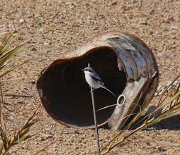 Photo: Averla maggiore meridionale | Lanius meridionalis elegans | Southern / Desert Grey Shrike