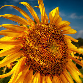 Sunny Side Up by Paul Atcliffe - Nature Up Close Flowers - 2011-2013 ( sunflower, flower )