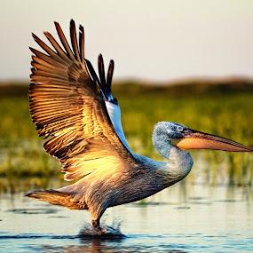Pelican in the Danube Delta by Florin Ihora - Animals Birds ( delta, wildlife, romania, pelican, danube,  )