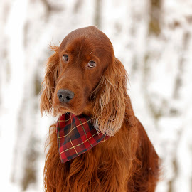 My sunshine doesn't come from the skies, it comes from the love in my dog's eyes by Ken Jarvis - Animals - Dogs Portraits ( snow, irish, irish setter, dog, dog portrait )