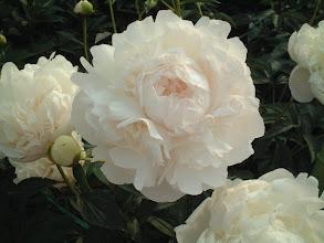 Photo: 君が代 草丈が高く開花にともない乳白色に変化する