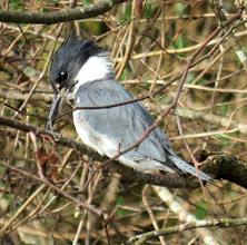 Photo: Belted Kingfisher perched on a branch over the river looking for salmon fry to catch. They are year round residents around the hatchery and their noisy rattling in-flight call can be heard frequently along the river: http://www.allaboutbirds.org/guide/belted_Kingfisher/id